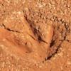Dinosaur footprint cast, Broome