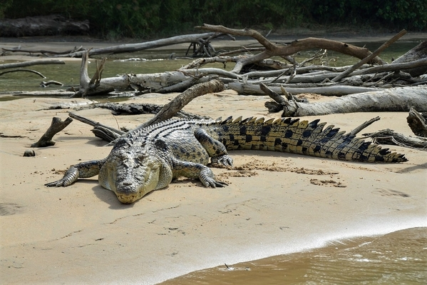 9_saltwater-crocodile-4124181_1280 (1)