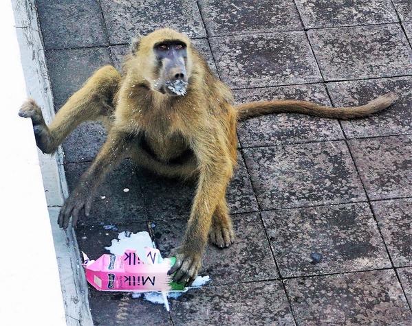 11-naughty baboon