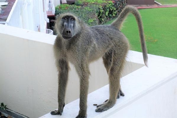 12-baboon