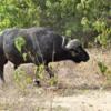 14_Cape buffalo