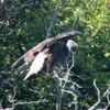 Bald Eagle, Katmai National Park, Alaska