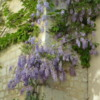 Wisteria growing on a hundreds year old wall at Abbey Fountrevaud