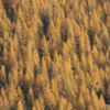 A thick stand of larches, Crowsnest Pass, British Columbia