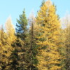 Larches in their fall colors, Crowsnest Pass, British columbia