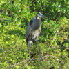 Great Blue Heron, Florida Everglades