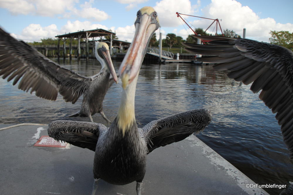 Pelican hitch-hikers, Everglades City, Florida