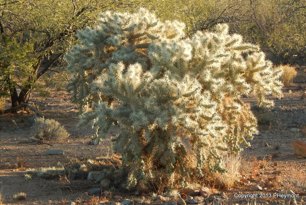 It's not snow: silvery cholla cactus, backlit, Christmas Day in Green Valley, AZ