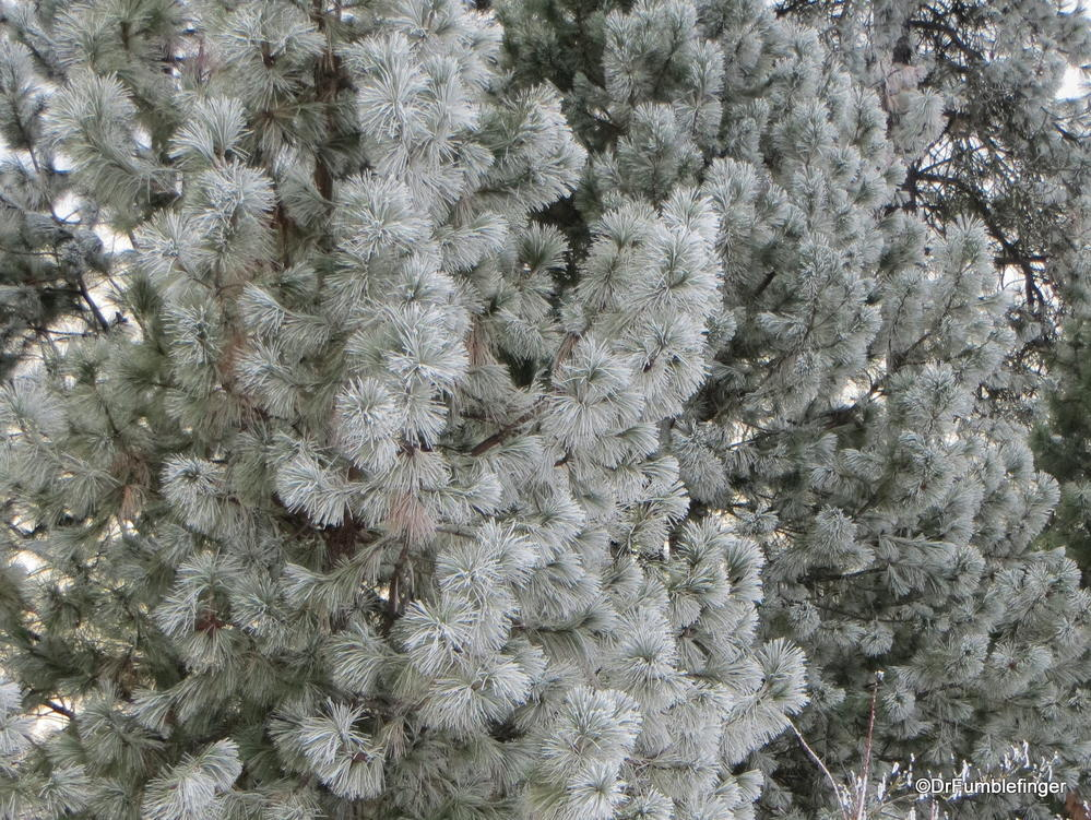 The hoar frost was very heavy on the Ponderosa pines in the Inland Northwest today