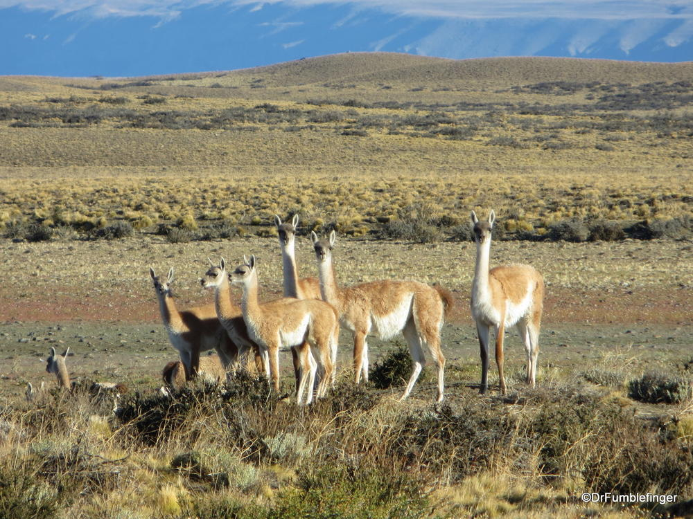 Guanacos, Patagonian Steppe