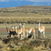 Guanacos, Patagonian Steppe