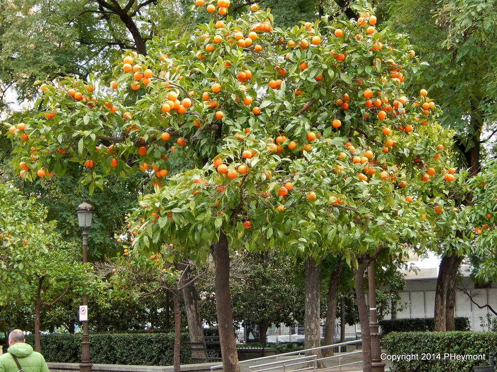 Oranges growing in Seville park