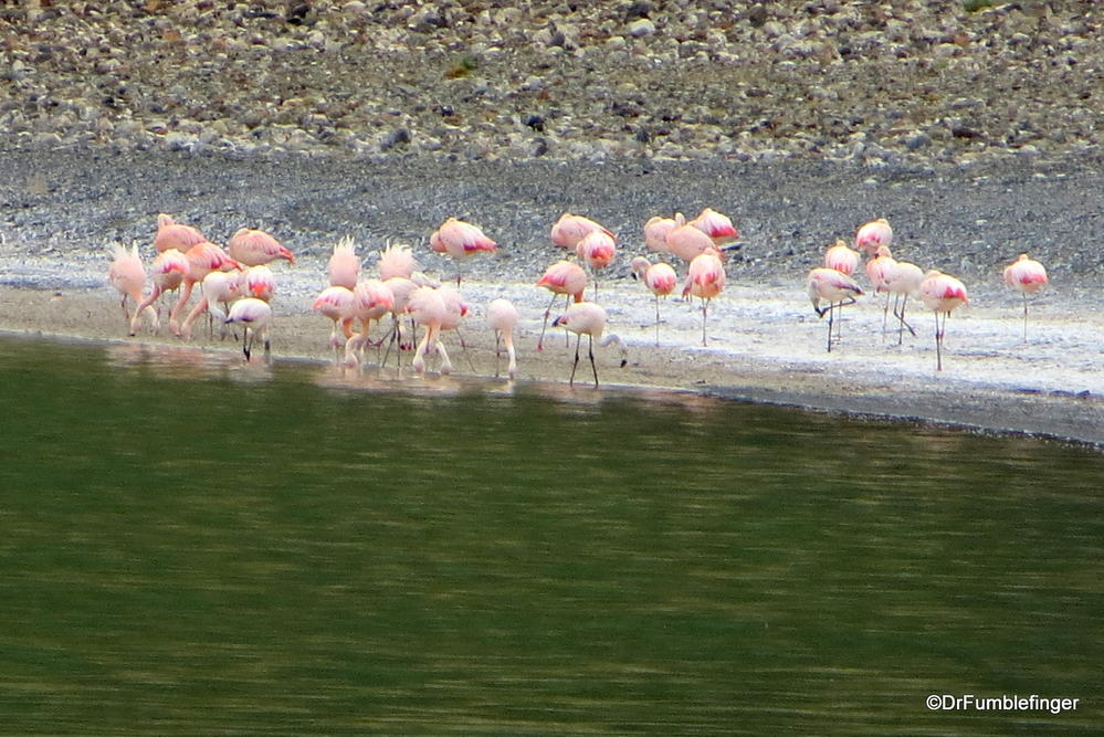 Chilean flamingos,  Torres Del Paine National Park, Chile