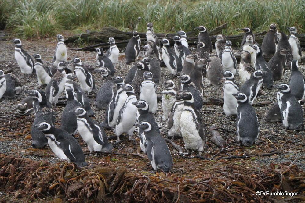 Magellan Penguin rookery on Santa Cruz Island, Chile