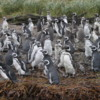 Magellan Penguin rookery on Santa Cruz Island, Chile