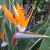 Newport Beach, California.  Bird of Paradise.