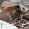 Grizzly Bear, San Diego Zoo
