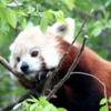 Red Panda, San Diego Zoo