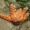 Sea Star in a Tidepool, Crystal Cove State Park, Newport Beach, California