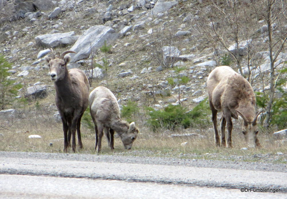 Mountain sheep, Crowsnest Pass, British Columbia