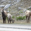 Mountain sheep, Crowsnest Pass, British Columbia