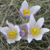The prairie crocuses were just starting to bloom, Calgary, Alberta