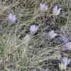 The prairie crocuses were just starting to bloom, Calgary, Alberta