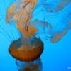 Sea Nettles.  Jellyfish exhibit, Monterey Bay Aquarium