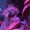 Giant Pacific Octopus, Monterey Bay Aquarium