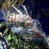 Lionfish, , Monterey Bay Aquarium