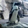 African blackfooted penguins, Monterey Bay Aquarium