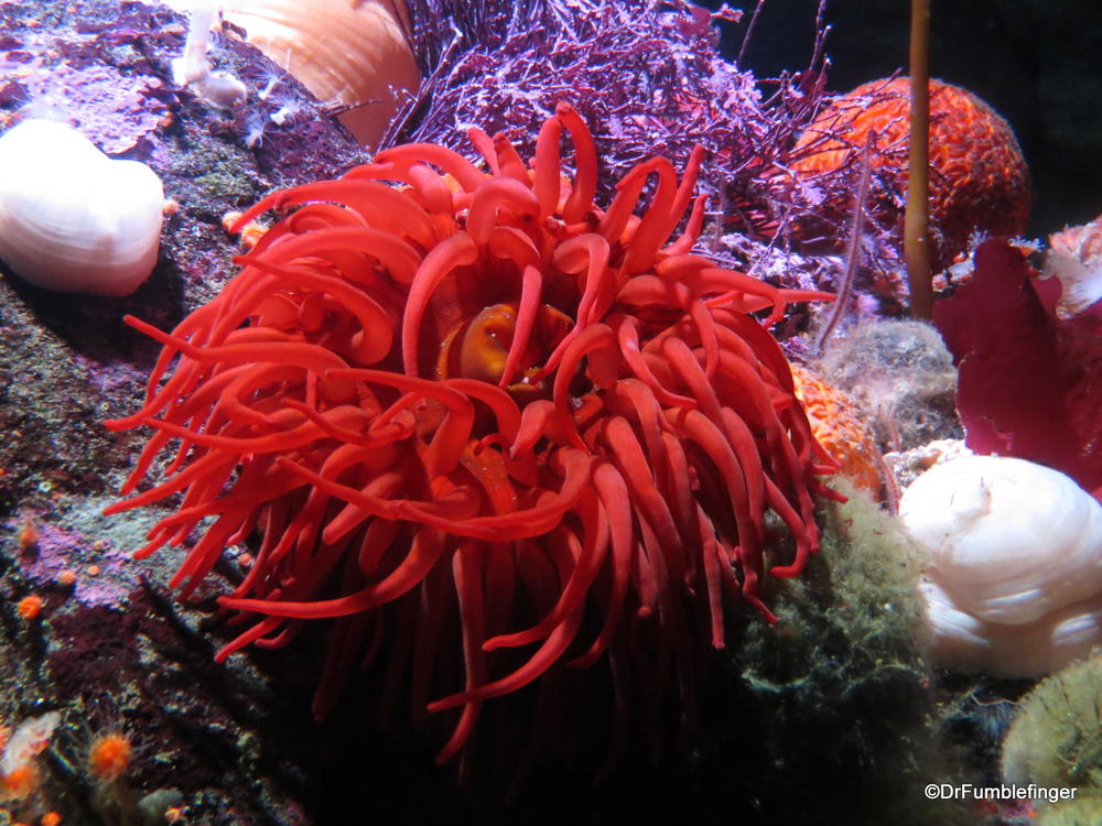 Anenome, Monterey Bay Aquarium
