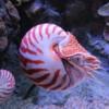 Chambered Nautilus, Monterey Bay Aquarium