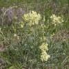 Wildflowers, Horseshoe Canyon (Alberta's Badlands)