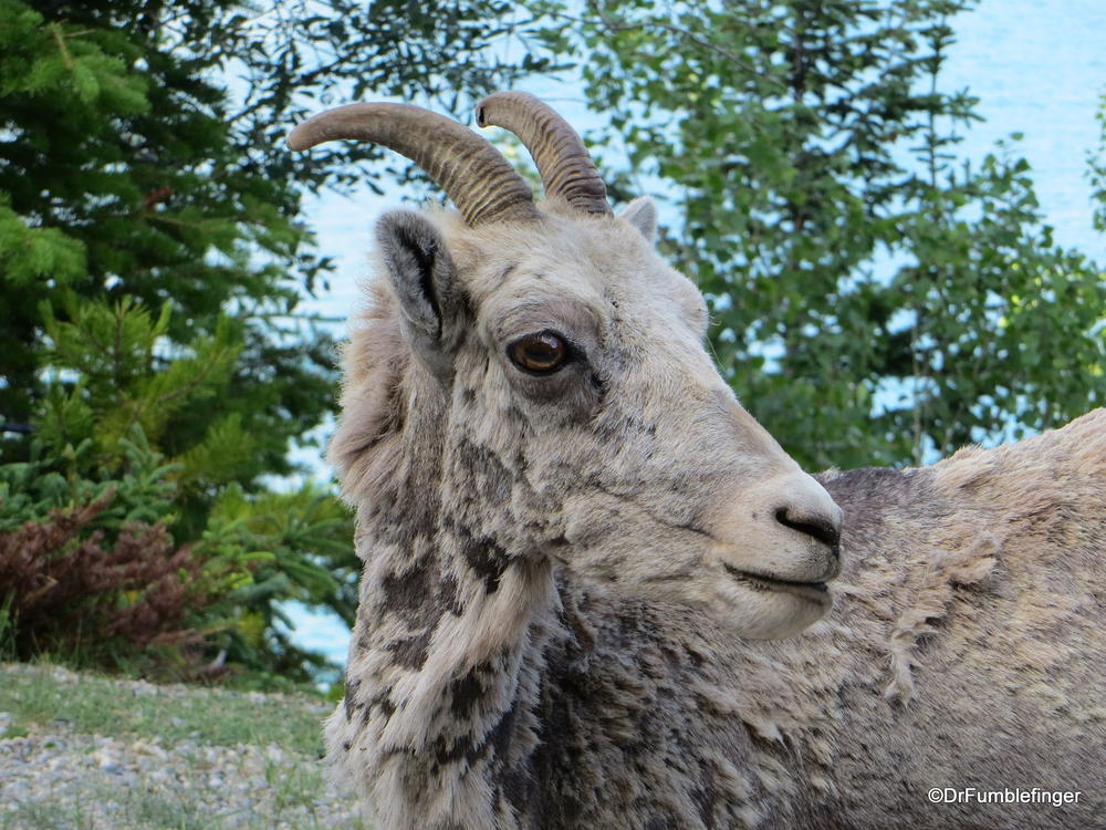 Female Bighorn Sheep, Lake Minnewaka, Banff National Park, Alberta