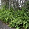 Ferns, Volcanoes National Park, Big Island of Hawaii