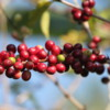 """Coffee """"cherries"""" growing just south of Kona.  The microclimate of Kona is perfect for growing some of the world's best coffee"""