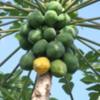 Papaya -- one of my favorite fruits.  Big Island of Hawaii