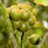 Macadamia nuts on the tree, near Hilo, Big Island of Hawaii