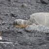 Hawaiian green sea turtles, Punalu'u Black Sand Beach
