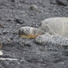 Hawaiian green sea turtles, Punalu'u Black Sand Beach