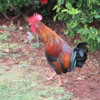 I think there are more chickens on Kauai than anywhere else on earth