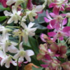 Domesticated orchids, Kauai