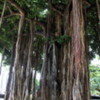 One of many massive banyan trees in Honolulu.  Note the new trunks descending to support the limbs