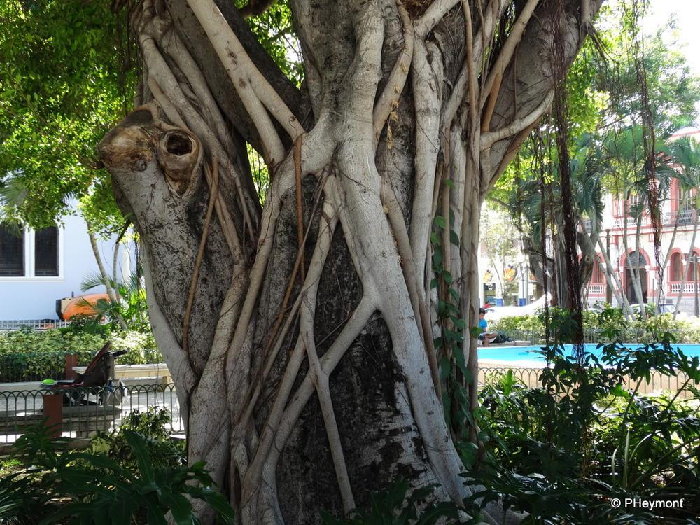 Vines and Tree, Plaza las Delicias, Ponce, PR