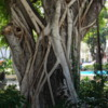 Vines and Tree, Plaza las Delicias, Ponce, PR