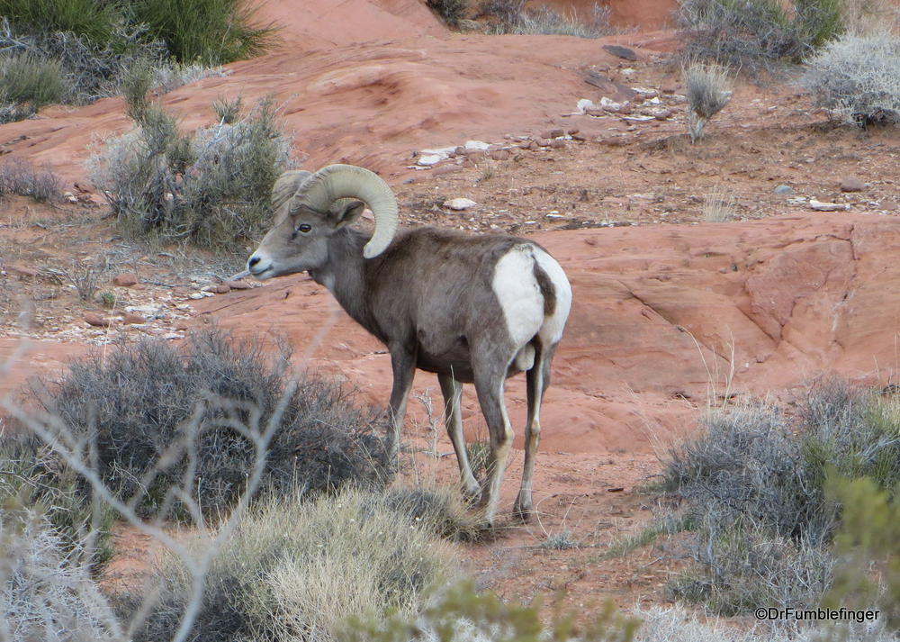 Desert Bighorn Sheep, Valley of the Fire State Park, Nevada