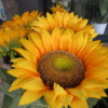 Beautiful sunflowers for sale in the winter!  Fiumicino