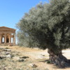 Concord Temple in Agrigento, coupled with an 800 year old olive tree to the right