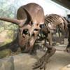 Triceratops exhibit, Museum of Science, Boston